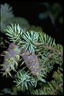 Pseudotsuga menziesii var. glauca