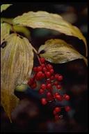 Maianthemum sp.
