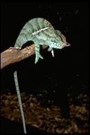 "male<br /><strong>Location:</strong> Ranomafana National Park (Madagascar)<br /><strong>Author:</strong> <a href=""http://calphotos.berkeley.edu/cgi/photographer_query?where-name_full=Unknown+(CAS)&one=T"">Unknown (CAS)</a>"