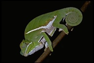 "female<br /><strong>Location:</strong> Ranomafana National Park (Madagascar)<br /><strong>Author:</strong> <a href=""http://calphotos.berkeley.edu/cgi/photographer_query?where-name_full=Unknown+(CAS)&one=T"">Unknown (CAS)</a>"