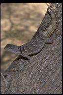 "<strong>Location:</strong> Tulear (Madagascar)<br /><strong>Author:</strong> <a href=""http://calphotos.berkeley.edu/cgi/photographer_query?where-name_full=Gerald+and+Buff+Corsi&one=T"">Gerald and Buff Corsi</a>"
