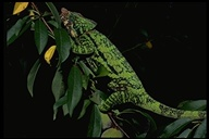 """<strong>Location:</strong> Madagascar<br /><strong>Author:</strong> <a href=""""http://calphotos.berkeley.edu/cgi/photographer_query?where-name_full=Unknown+(CAS)&one=T"""">Unknown (CAS)</a>"""