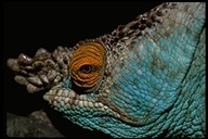 """male<br /><strong>Location:</strong> Andasibe National Park, Perinet Reserve (Madagascar)<br /><strong>Author:</strong> <a href=""""http://calphotos.berkeley.edu/cgi/photographer_query?where-name_full=Unknown+(CAS)&one=T"""">Unknown (CAS)</a>"""