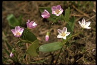 Claytonia sp.