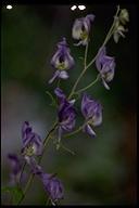 Aconitum columbianum