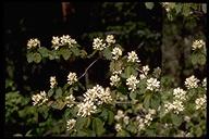 Amelanchier alnifolia var. pumila