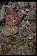 Ferocactus cylindraceus ssp. cylindraceus