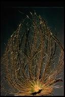 Geum triflorum