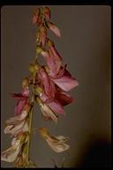 Hedysarum sp.