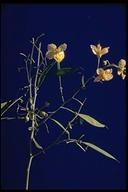 Cercidium sp.