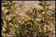 Pterophylla camellifolia