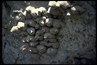 Petrochelidon pyrrhonota
