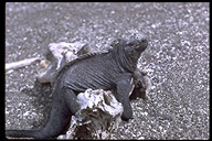 "<strong>Location:</strong> Galapagos IslandsSouth America<br /><strong>Author:</strong> <a href=""http://calphotos.berkeley.edu/cgi/photographer_query?where-name_full=H.+Vannoy+Davis&one=T"">H. Vannoy Davis</a>"