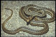 Pituophis catenifer catenifer