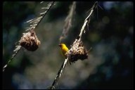 African Golden-weaver