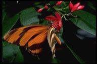 Dryadula phaetusa