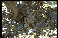 """<strong>Location:</strong> San Esteban Island, Baja California (Mexico)<br /><strong>Author:</strong> <a href=""""http://calphotos.berkeley.edu/cgi/photographer_query?where-name_full=John+Kipping&one=T"""">John Kipping</a>"""