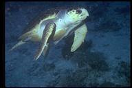 "Originally identified as Eretmochelys imbricata, Hawksbill Turtle<br /><strong>Location:</strong> Bonaire (Netherlands)<br /><strong>Author:</strong> <a href=""http://calphotos.berkeley.edu/cgi/photographer_query?where-name_full=Eugene+Weber&one=T"">Eugene Weber</a>"