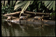 """<strong>Location:</strong> Tortugero National Park (Costa Rica)<br /><strong>Author:</strong> <a href=""""http://calphotos.berkeley.edu/cgi/photographer_query?where-name_full=Gerald+and+Buff+Corsi&one=T"""">Gerald and Buff Corsi</a>"""
