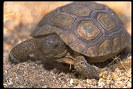 """young<br /><strong>Location:</strong> Mojave National Preserve (California, US)<br /><strong>Author:</strong> <a href=""""http://calphotos.berkeley.edu/cgi/photographer_query?where-name_full=Gerald+and+Buff+Corsi&one=T"""">Gerald and Buff Corsi</a>"""