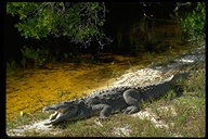 """<strong>Location:</strong> Ding Darling National Wildlife Refuge (Florida, US)<br /><strong>Author:</strong> <a href=""""http://calphotos.berkeley.edu/cgi/photographer_query?where-name_full=Gerald+and+Buff+Corsi&one=T"""">Gerald and Buff Corsi</a>"""