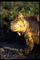 "<strong>Location:</strong> South Plaza Island (South Plaza Island (Galapagos Islands), Ecuador)<br /><strong>Author:</strong> <a href=""http://calphotos.berkeley.edu/cgi/photographer_query?where-name_full=Gerald+and+Buff+Corsi&one=T"">Gerald and Buff Corsi</a>"