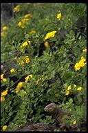 """<strong>Location:</strong> Santa Fe Island (Santa Fe Island (Galapagos Islands), Ecuador)<br /><strong>Author:</strong> <a href=""""http://calphotos.berkeley.edu/cgi/photographer_query?where-name_full=Gerald+and+Buff+Corsi&one=T"""">Gerald and Buff Corsi</a>"""