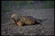 """<strong>Location:</strong> Urbina Bay (Galapagos Islands, Ecuador)<br /><strong>Author:</strong> <a href=""""http://calphotos.berkeley.edu/cgi/photographer_query?where-name_full=Gerald+and+Buff+Corsi&one=T"""">Gerald and Buff Corsi</a>"""
