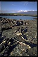 """<strong>Location:</strong> Galapagos, Ecuador (Galapagos Islands, Ecuador) (Galapagos, Ecuador)<br /><strong>Author:</strong> <a href=""""http://calphotos.berkeley.edu/cgi/photographer_query?where-name_full=Gerald+and+Buff+Corsi&one=T"""">Gerald and Buff Corsi</a>"""