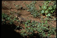 "<strong>Location:</strong> Samburu National Park (Kenya)<br /><strong>Author:</strong> <a href=""http://calphotos.berkeley.edu/cgi/photographer_query?where-name_full=Gerald+and+Buff+Corsi&one=T"">Gerald and Buff Corsi</a>"