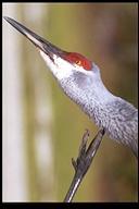 Grus canadensis
