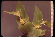 Euphorbia lathyris