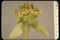 Euphorbia oblongata