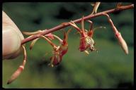 Oenothera sinuosa