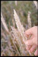 Imperata brevifolia