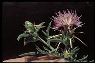 Centaurea calcitrapa hybrid