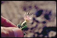 Centaurea repens