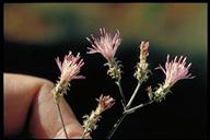 Centaurea virgata ssp. squarrosa