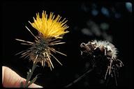 Centaurea sulphurea