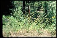 Linaria dalmatica ssp. dalmatica