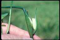 Monochoria vaginalis