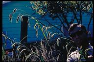 Pennisetum latifolium