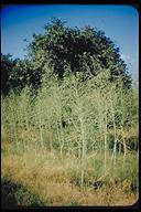 Sesbania herbacea