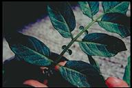 Solanum cardiophyllum
