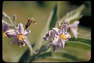 Solanum lanceolatum