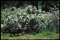 Solanum marginatum