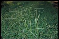 Chloris truncata