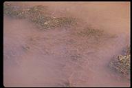 Egeria densa