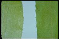 Hydrilla verticillata
