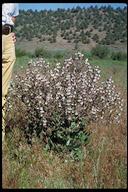 Salvia aethiopis